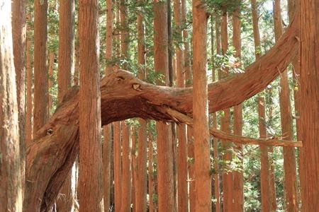 パオーン杉