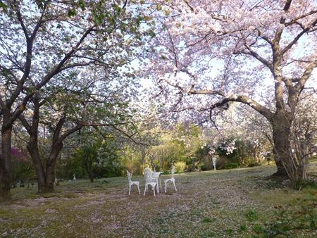 北山緑化植物園 桜